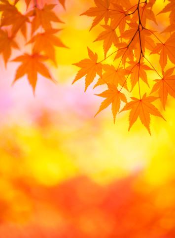 紅葉「鮮やかな秋の色」:スマホ壁紙(7)