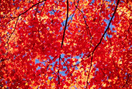 Japanese Maple「Vibrant Autumn Colors」:スマホ壁紙(14)
