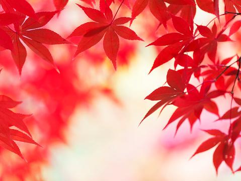 Japanese Maple「Vibrant Autumn Colors」:スマホ壁紙(8)