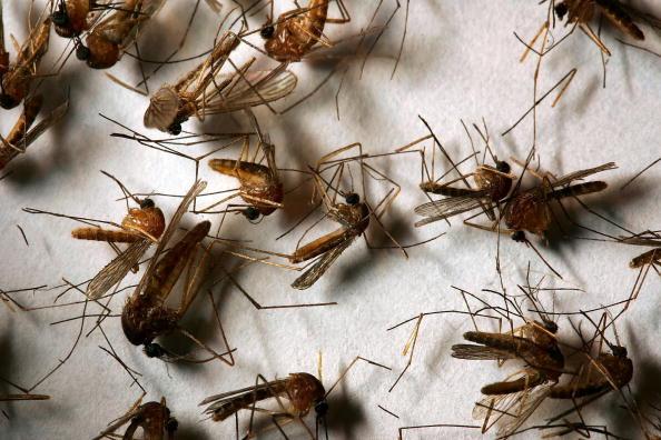 虫・昆虫「West Nile Virus Mosquitoes Return Early To California」:写真・画像(16)[壁紙.com]