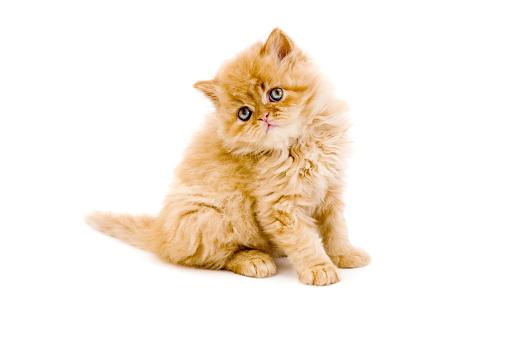 ペルシャネコ「小さな猫、イグアナ」:スマホ壁紙(3)