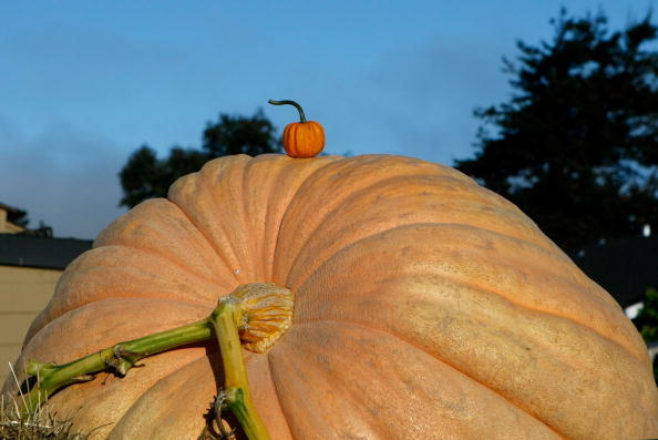 Large「California Growers Compete For Largest Pumpkin Honors」:写真・画像(1)[壁紙.com]