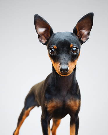 Animal Ear「Miniature pinscher puppy dog on grey background」:スマホ壁紙(13)