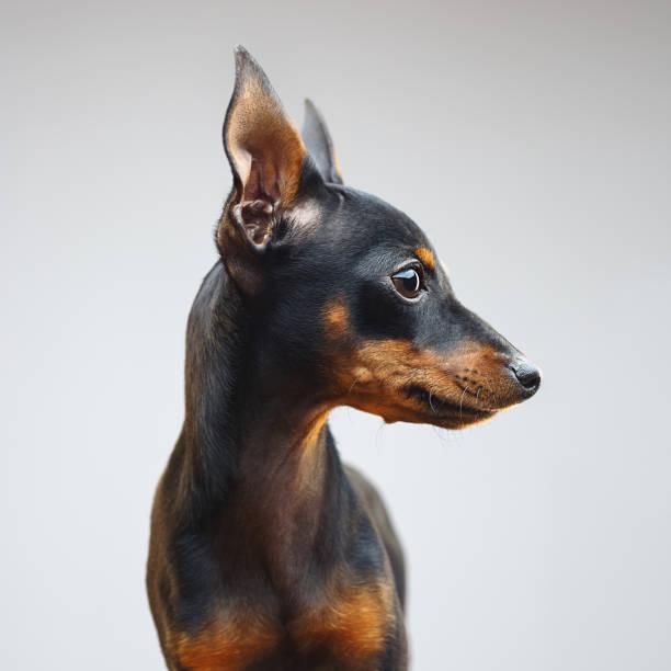 Miniature pinscher dog looking away:スマホ壁紙(壁紙.com)