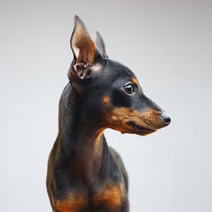 Animal Ear「Miniature pinscher dog looking away」:スマホ壁紙(6)