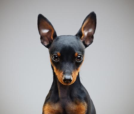 Animal Head「Miniature pinscher dog in studio」:スマホ壁紙(12)
