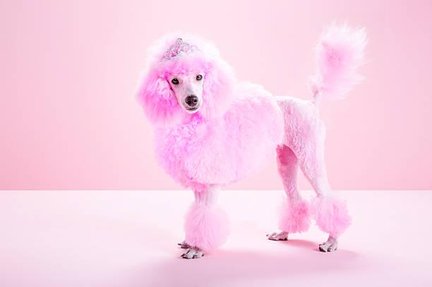 Miniature Pink poodle, pink poodle,studio:スマホ壁紙(壁紙.com)