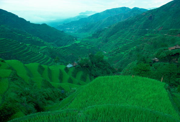 Grass「Rice Terraces,Banaue, Phillipines」:写真・画像(13)[壁紙.com]