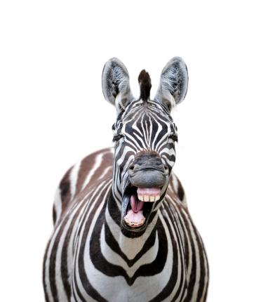 Zebra「laughing zebra」:スマホ壁紙(4)