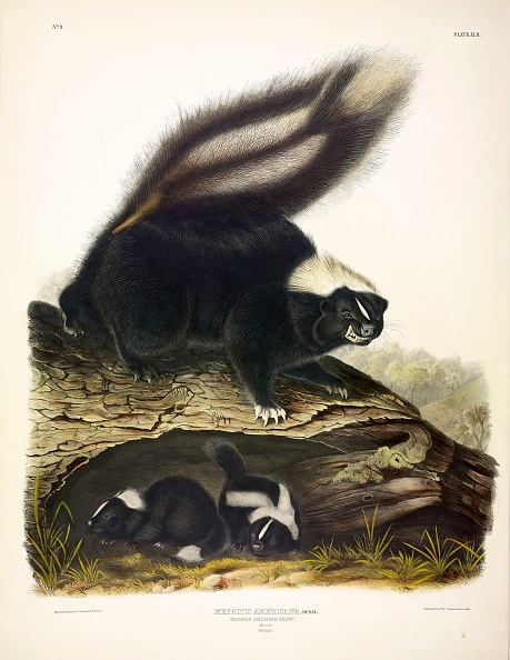 Quadrupedalism「Common American Skunk」:写真・画像(1)[壁紙.com]