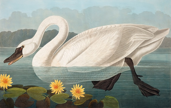 Engraved Image「Common American Swan」:写真・画像(10)[壁紙.com]
