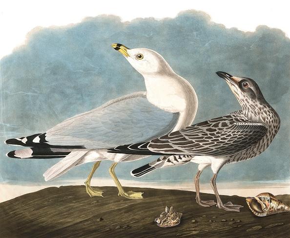 Animal Body Part「Ring-Billed Gull」:写真・画像(2)[壁紙.com]