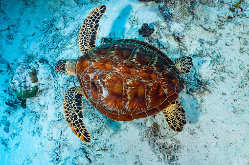 Green Turtle「Swimming Green Turtle Chelonia midas from Above, Palau, Micronesia」:スマホ壁紙(8)