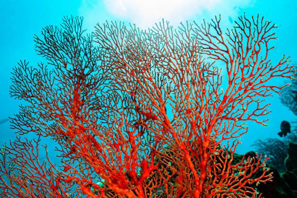 Knotted Fan Coral Melithaea ochracea, Back Light, Misool, Indonesia:スマホ壁紙(壁紙.com)