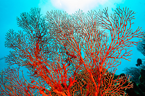 Soft Coral「Knotted Fan Coral Melithaea ochracea, Back Light, Misool, Indonesia」:スマホ壁紙(1)