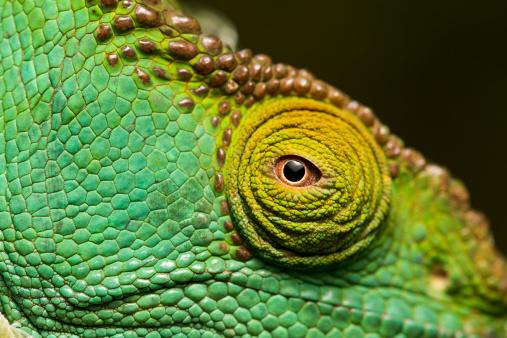 Animal Eye「Parson?s Chameleon, Madagascar」:スマホ壁紙(11)