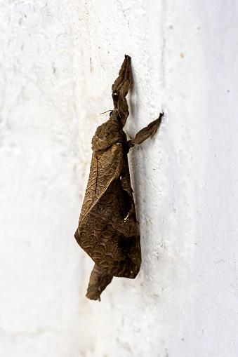 Dethan Punalur「Macro shot of a Dry leaf shaped moth」:スマホ壁紙(16)