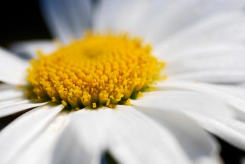 Dayflower「macro shot from marguerite daisy bloom」:スマホ壁紙(10)