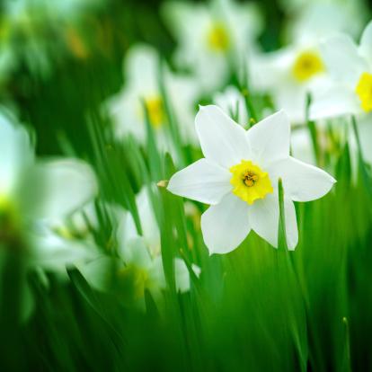 水仙「マクロ撮影、フィールドを白 daffodils ます。Narcissus'Orangery'cultivar ます。」:スマホ壁紙(15)