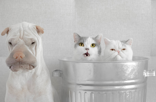 British Shorthair Cat「Two cats in trash can next to a shar-pei dog」:スマホ壁紙(0)