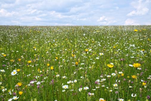 Marguerite - Daisy「Germany, Baden-Wuerttemberg, Flower meadow」:スマホ壁紙(4)