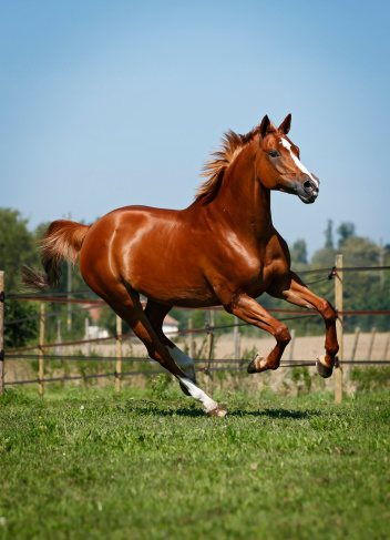 Horse「Germany, Baden Wuerttemberg, Constance, View of Trakehner mare gallopping in meadow」:スマホ壁紙(6)
