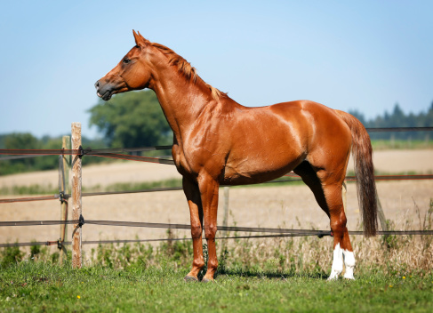 Horse「Germany, Baden Wuerttemberg, Constance, View of Trakehner standing in meadow」:スマホ壁紙(13)