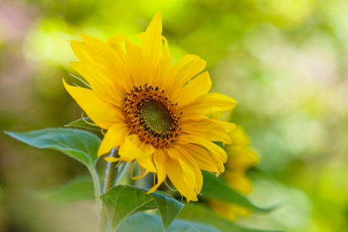 ひまわり「Germany, Baden Wuerttemberg, Annual sunflower, close up」:スマホ壁紙(1)