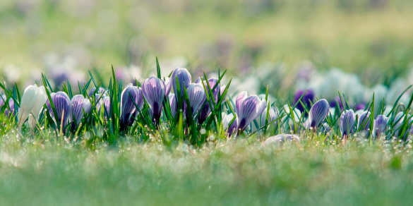 Crocus「Germany, Baden Wuerttemberg, Crocus flowers, close up」:スマホ壁紙(15)