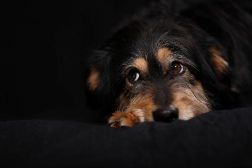 Focus On Background「Germany, Baden Wuerttemberg, Dachshund dog lying on sofa, close up」:スマホ壁紙(13)
