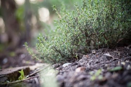 Lemon Thyme「Germany, Baden-Wuerttemberg, Garden thyme, Thymus vulgaris, in garden」:スマホ壁紙(5)