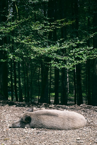 猪「Germany, Baden-Wuerttemberg, Wild boar, Sus scrofa, resting at forest edge」:スマホ壁紙(9)