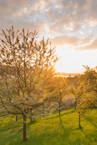 落葉樹「Germany, Baden-Wuerttemberg, Lake Constance, Sipplingen, blooming trees at sunset」:スマホ壁紙(11)