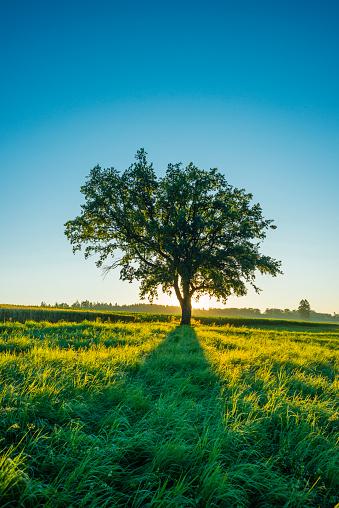 Single Tree「Germany, Baden-Wuerttemberg, old Pedunculate Oak on a meadow」:スマホ壁紙(11)