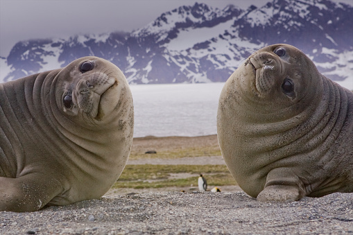 Atlantic Islands「Two Southern Elephant Seals (Mirounga leonine), St. Andrews Bay, South Georgia Island, Southern Atlantic Islands, Antarctica」:スマホ壁紙(14)