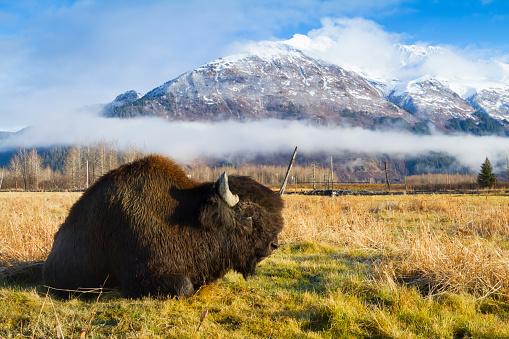 Three Quarter Length「Wood Bison (Bison bison athabascae) bull rests in a meadow at the Alaska Wildlife Conservation Center」:スマホ壁紙(10)