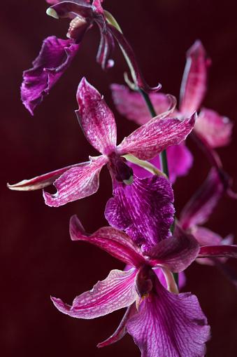 flower「Miltonia Blunti Orchid」:スマホ壁紙(7)