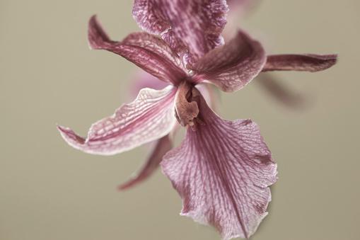 flower「Miltonia Blunti Orchid」:スマホ壁紙(6)
