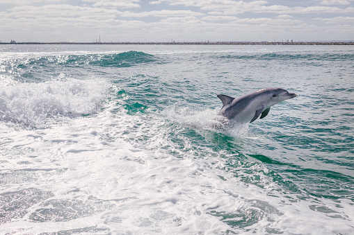 Jumping「Dolphin leaping out of the ocean, Australia」:スマホ壁紙(10)