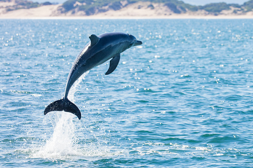 一匹「Dolphin leaping out of the ocean, Tasmania, Australia」:スマホ壁紙(13)