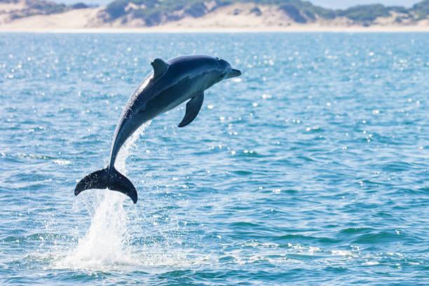 Dolphin leaping out of the ocean, Tasmania, Australia:スマホ壁紙(壁紙.com)