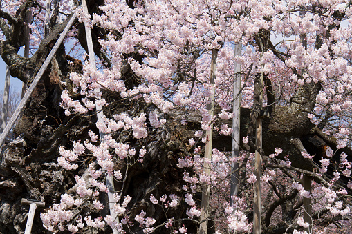 桜「Old Cherry Tree, Yamadaka-Jindai Sakura」:スマホ壁紙(8)