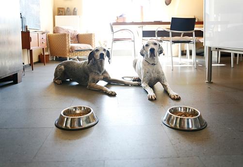 Feeding「Two dogs at home lying beside bowls」:スマホ壁紙(5)