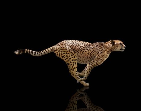 Mammal「Sprinting Cheetah On Black Background」:スマホ壁紙(11)