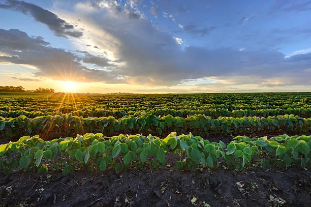 Soybean field at sunrise.:スマホ壁紙(壁紙.com)