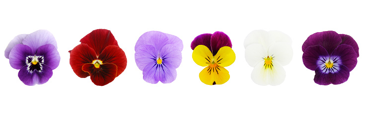 Pansy「Isolated Viola/Pansies (XL)」:スマホ壁紙(6)