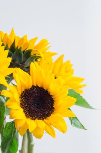 ひまわり「Bunch of sunflowers」:スマホ壁紙(0)