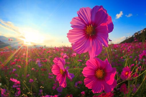 コスモス「Field of pink cosmos flowers at sunset」:スマホ壁紙(1)