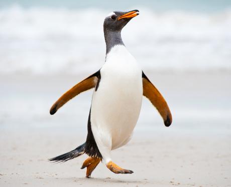 Falkland Islands「Gentoo penguin running on the beach」:スマホ壁紙(12)