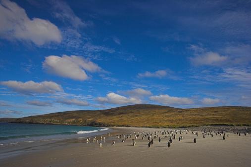 Falkland Islands「Gentoo penguins (Pygoscelis papua) on landing beach」:スマホ壁紙(17)